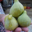 FIG TREE 3 FRESH CUTTINGS -WHITE PATLICAN FIG- 3 PCS