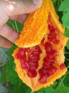 MOMORDICA (momordica charantia) 10 FRESH SEEDS
