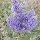 CHASTE TREE (Vitex agnus-castus) BLUE FLOVERS 100 FRESH SEEDS