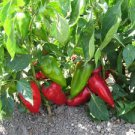 SWEET YALOVA PEPPER-HEIRLOOM 100 FRESH SEEDS