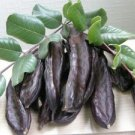 CAROB TREE CHOCOLATE TREE ST.JOHN'S BREAD TREE 20 FRESH SEED