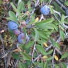 Jackal Plum - Prunus spinosa 20 Fresh Seeds (Anatolian-Wild)