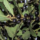 Laurus nobilis - Sweet Bay Laurel Tree, 10 Fresh Seeds (Daphne - Bay Tree)
