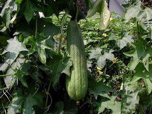 Luffa Gourd (Luffa cylindrica) 20 Fresh Seeds