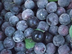 Black Plum Tree 10 Fresh Seeds (Anatolian-Rare)