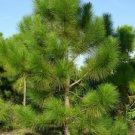 Maritime Pine (Pinus pinaster) 25 Fresh Seeds