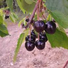BLACK CHERRY TREE 20 FRESH SEEDS
