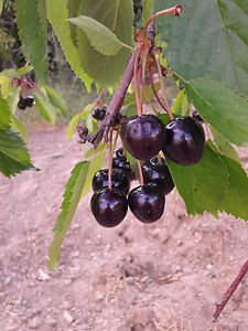 BLACK CHERRY TREE 20 FRESH SEEDS