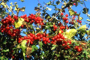 Black Bryony (Tamus communis L.) 20 Fresh Seeds