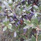 GREEN OLIVE TREE (Phillyrea latifolia) 100 FRESH SEEDS