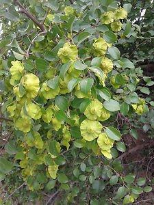 Jerusalem Thorn - Garland Thorn (Paliurus spina-christi) 30 Fresh Seeds