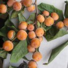 Date Plum (Diospyros lotus L.) 20 Fresh Seeds