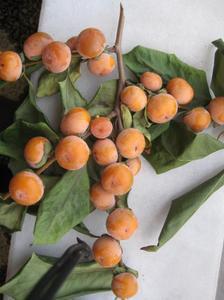 Date Plum (Diospyros lotus L.) 20 Fresh Seeds