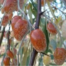 Russian Olive (Elaeagnus angustifolia) 20 ++ Fresh Seeds