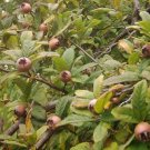 MEDLAR TREE 20 FRESH SEEDS (Mespilus germanica )