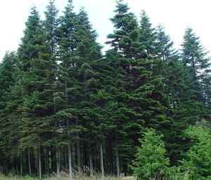 Normand Fir - Christmas tree (Abies nordmanniana bornmulleriana) 20 Fresh Seeds
