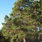 Scots Pine (Pinus sylvestris) 50 Fresh Seeds