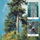 Turkish black pine (Pinus nigra caramanica) 50 Fresh Seeds