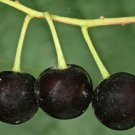 Mahaleb Cherry 20 Fresh Seeds (Prunus mahaleb)