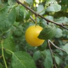 Wild Yellow Plum Tree 20 Fresh Seeds (Anatolian-Rare)