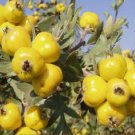 ANATOLIAN YELLOW HAWTHORN TREE 20 FRESH SEED