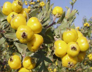 ANATOLIAN YELLOW HAWTHORN TREE 20 FRESH SEED