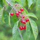 WILD CHERRY (Prunus avium L.) 10 FRESH SEEDS