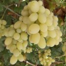 RAZAKI (KADINPARMAK) GRAPES 25 FRESH SEEDS