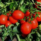 RIO GRANDE TOMATOES HEIRLOOM 50 FRESH SEEDS