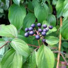 Common Dogwood Tree (Cornus sanguinea L.) 30 Fresh Seeds