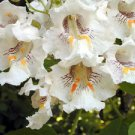 Northern Catalpa (Catalpa speciosa) 50 Fresh Seeds