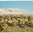 Wild Elk Herd-Jackson Hole Wyoming Postcard
