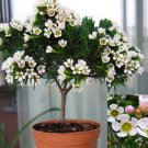 10 Chamelaucium Megalopetalum Bonsai Seeds, Large Waxflower Fresh Exotic Seeds