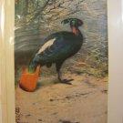 BIRDS: Impeyan pheasant (Lophophorus impeyanus),antique print,1907