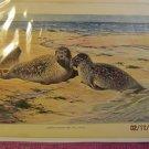 Common Harbor Seal (Phoca Vitulina), Antique Print,1907