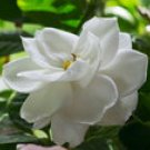 GARDENIA 4oz - Candle Fragrance Oil FO - FREE USA SHIPPING