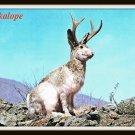 Vintage Postcard Wild Jackalope Antelabbit