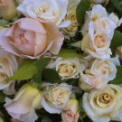 WHITE GARDEN ROSE