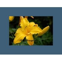 Yellow Daylilly - Item #20060052