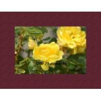 Yellow Rose - Item #20060032