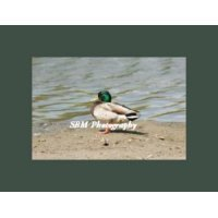 Beach Duck - Item #20060004