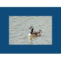 Duck in Water - Item #20060005