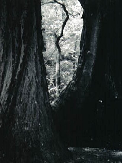Muir Redwoods in California