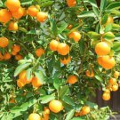 (50) Meiwa kumquat (fortunella crassiflia) seeds .
