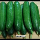 (50) seeds Persian Cucumber (Cucumis sativus), bitter free, and burpless .