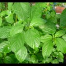 Jute seeds,Saluyot, Molokhia, Egyptian spinach seeds(rau day)3000 seeds(8 g)