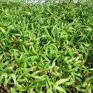 Vegetable seeds Kangkong, Water Spinach ( Rau Muong / Ong Choy ) -150 Seeds
