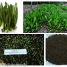 Culantro seeds, recao, long coriander,Thai Parsley, ngo gai ...5000 seeds (5g)