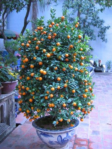 (20) Sweet Meiwa kumquat (Fortunella crassifolia) seeds .
