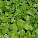 Big Leaf Type-- Green malabar spinach,,Basella alba , Mong Toi  (1000) seeds